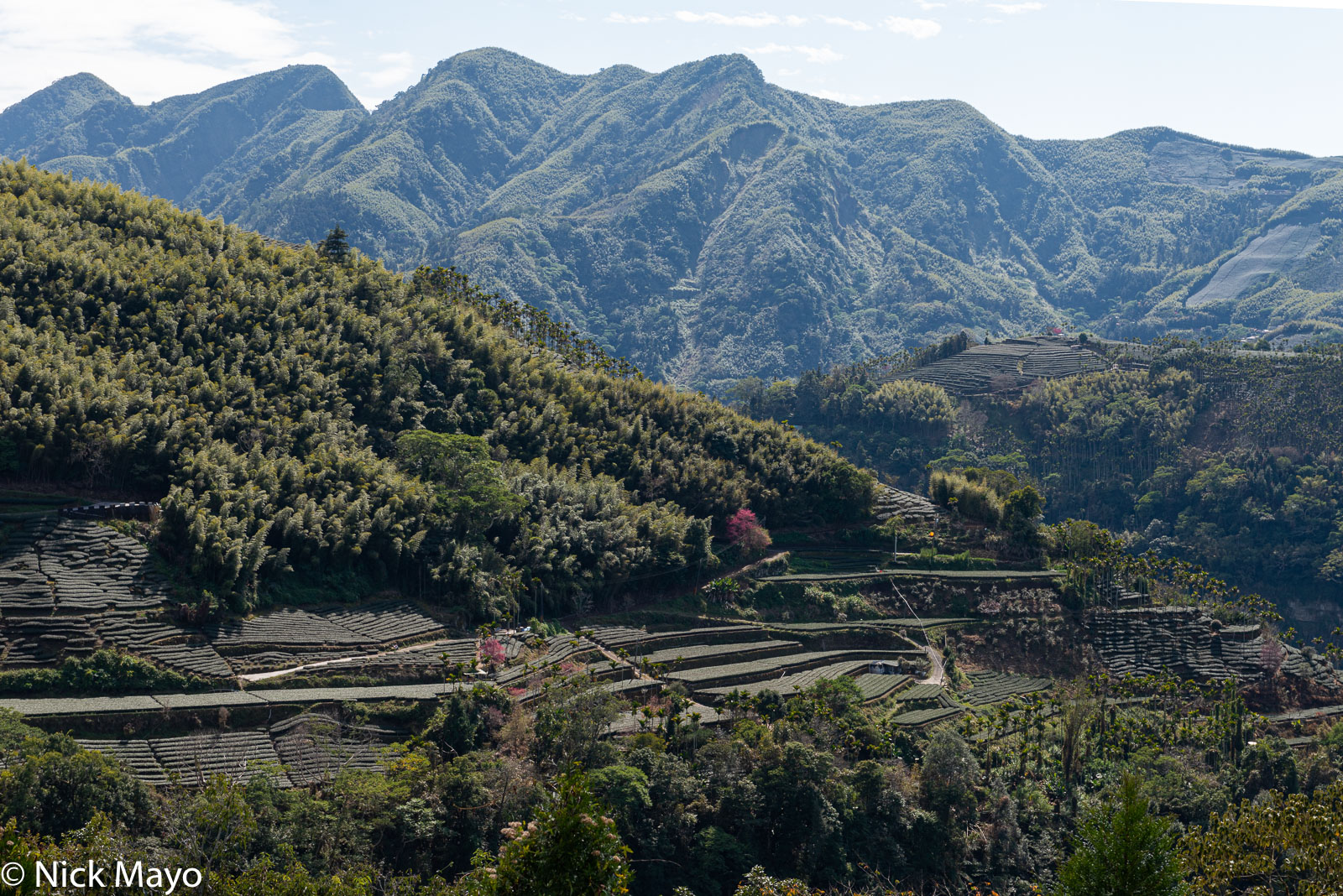 Tea fields and bamboo at Ruifeng in Chiayi County.