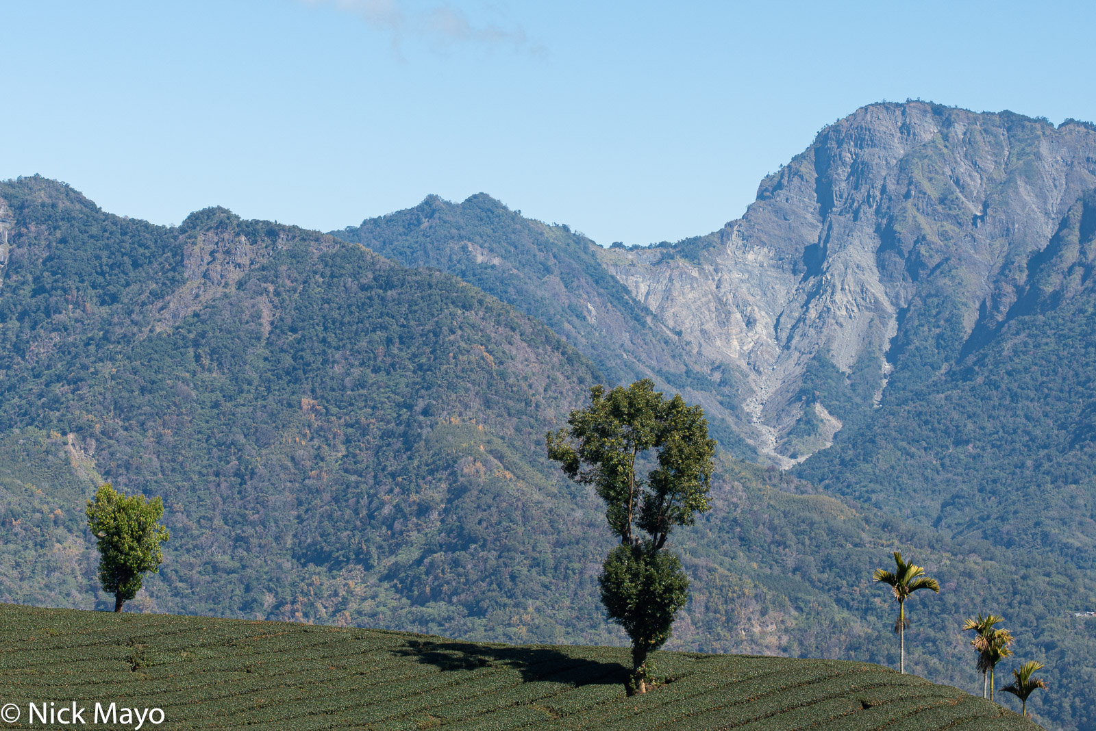 A tea field at Tai He in Chiayi County.