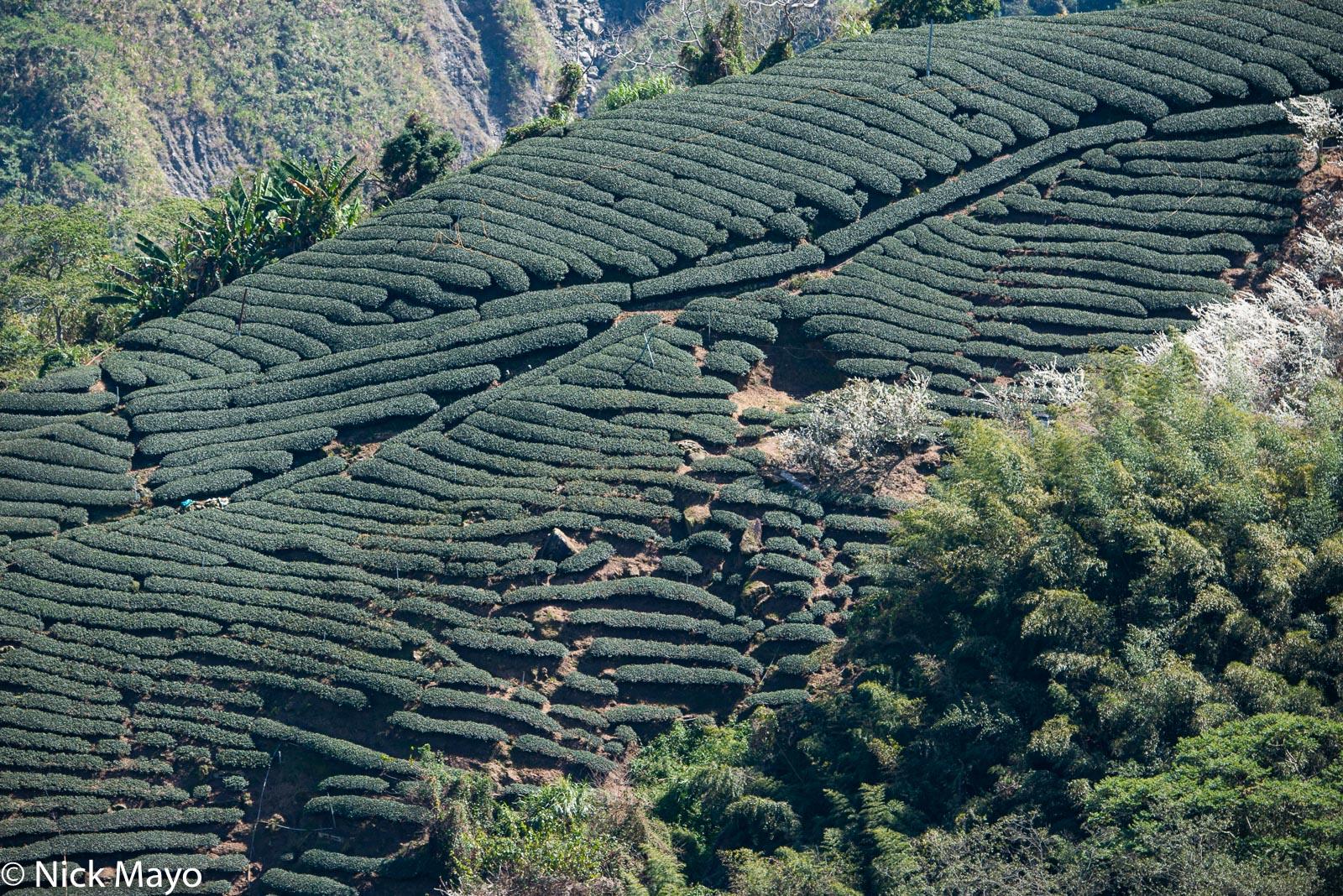 A tea field planted along a ridge near Tai He in Chiayi County.