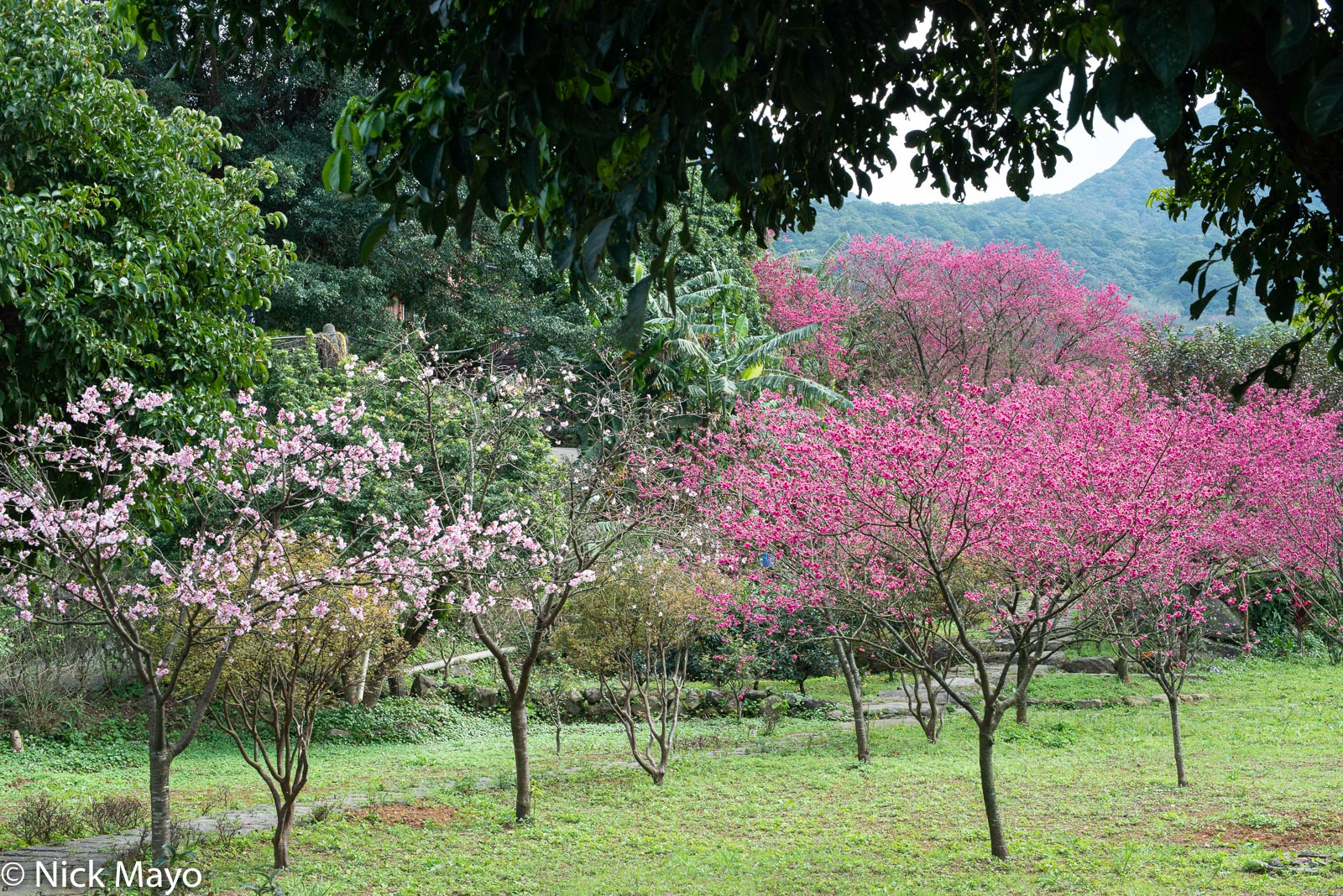 Two varieties of cherry trees at Beixinzhuang.