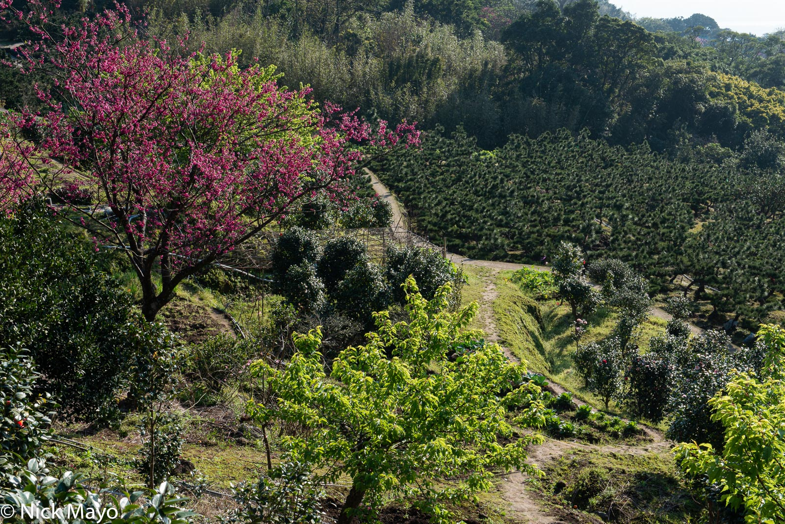 Multiple varieties of cultivated trees at Yangmingshan.
