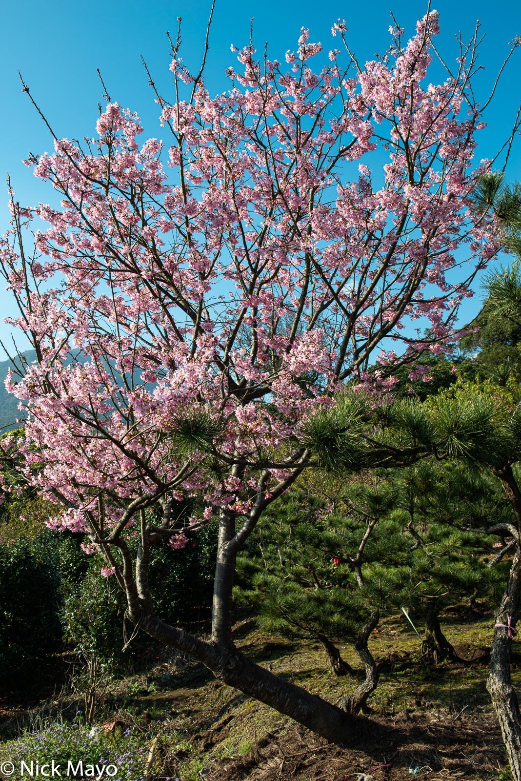 A Yoshino cherry tree in bloom in Yangmingshan.