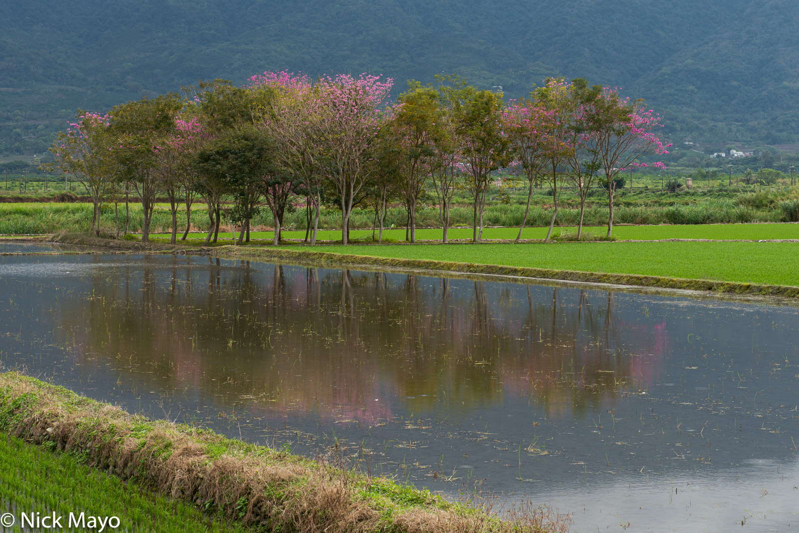 Blossoming cherry trees reflected in a flooded field at Ruisui in Hualien County.